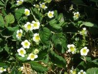 Blomster Holgers Jordbaer